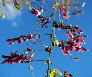 Zweifarbiger Buschklee Bluete pink Lespedeza bicolor 14