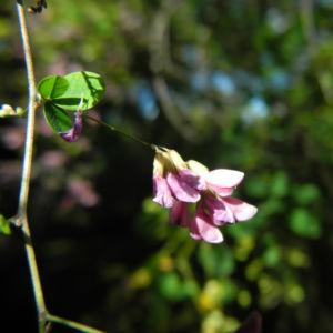 Zweifarbiger Buschklee Bluete pink Lespedeza bicolor 17
