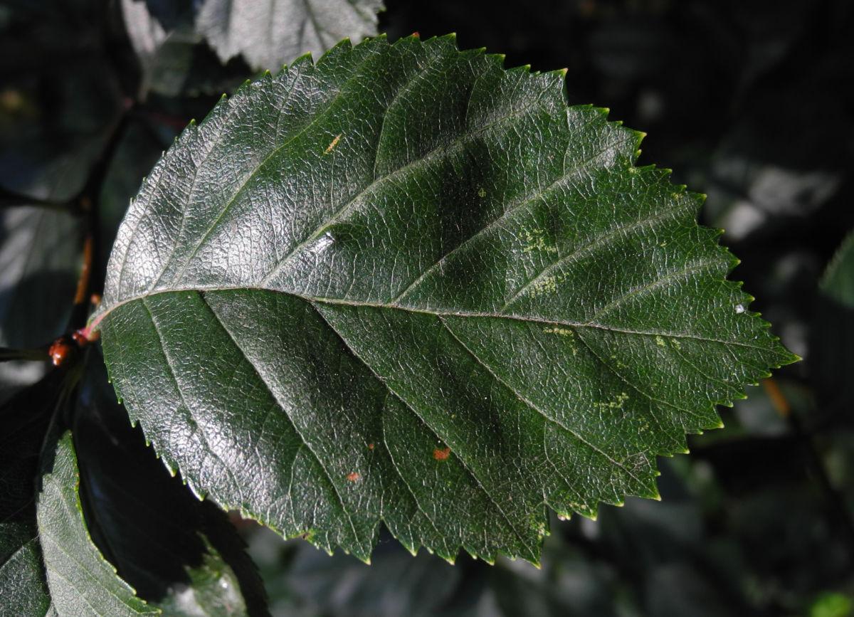 Zweigriffeliger Weissdorn Blatt gruen Crataegus laevigata