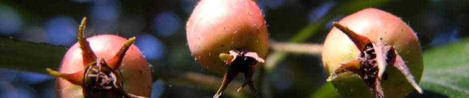zweigriffeliger-weissdorn-crataegus-laevigata