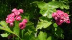Bild: Zweigriffliger Weißdorn Blüte rot Crataegus laevigata