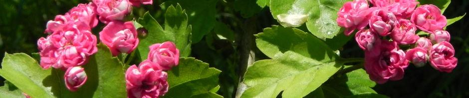 zweigriffliger-weissdorn-bluete-rot-crataegus-laevigata