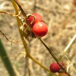 Zweihaeusige Zaunruebe Frucht rot gruen Bryonia dioica 02