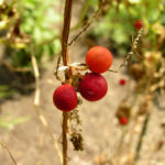 Zweihaeusige Zaunruebe Frucht rot gruen Bryonia dioica 04