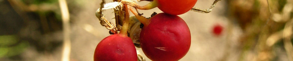 zweihaeusige-zaunruebe-frucht-rot-gruen-bryonia-dioica