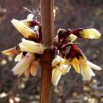 Zweizeilige Abeliophyllum Abeliophyllum distichum 02