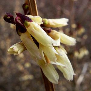 Bild: Zweizeilige Abeliophyllum Abeliophyllum distichum