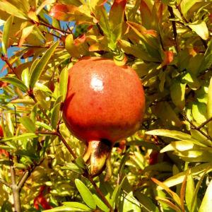 Zwerg GranatapfelBaum Frucht rot Blüete orange Punica granatum