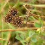Bild: Zwerg-Schneckenklee grün braun Medicago minima