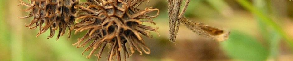 zwerg-schneckenklee-gruen-braun-medicago-minima