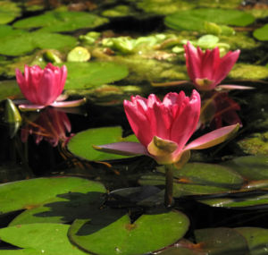 Bild: Zwerg Seerose Bluete rot Nymphaea Pygmaea rubra