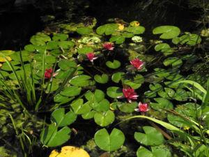 Zwerg-Seerose Blüte rot Nymphaea pygmaea rubra