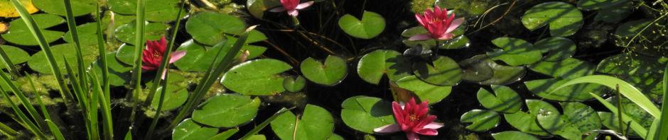 zwerg-seerose-bluete-rot-nymphaea-pygmaea-rubra