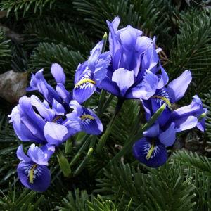 Zwergiris Iris reticulata 01