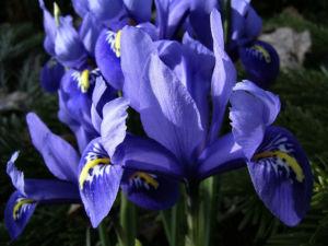 Zwergiris Iris reticulata 03