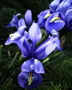 Zwergiris Iris reticulata 05