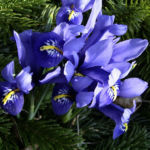 Zwergiris Iris reticulata 07