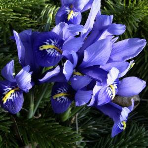 Bild: Zwergiris Iris reticulata