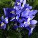 Zurück zum kompletten Bilderset Zwerg-Iris Blüte blau Iris reticulata