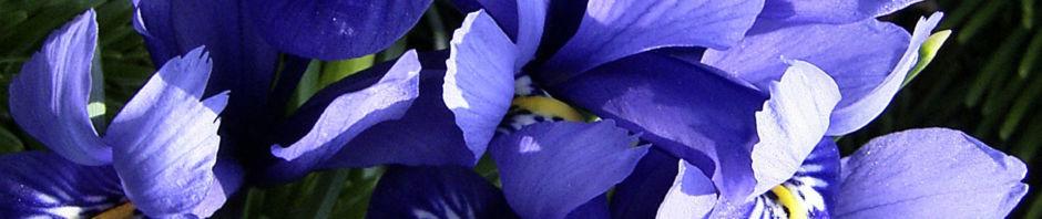 Anklicken um das ganze Bild zu sehen Zwerg-Iris Blüte blau Iris reticulata
