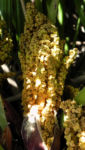 Zwergpalme Blatt gruen Chamaerops humilis 01
