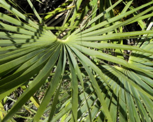 Zwergpalme Blatt gruen Chamaerops humilis 04
