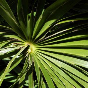 Zwergpalme Blatt gruen Chamaerops humilis 05