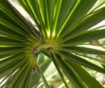 Zwergpalme Blatt gruen Chamaerops humilis 06