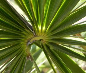 Bild: Zwergpalme Blatt gruen Chamaerops humilis