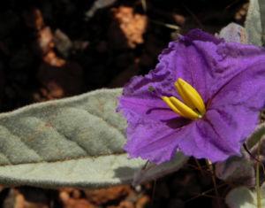 buschtomate bluete lila frucht orange solanum ellipticum 01