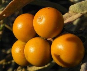 buschtomate bluete lila frucht orange solanum ellipticum 03