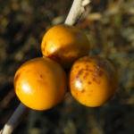 buschtomate bluete lila frucht orange solanum ellipticum 04