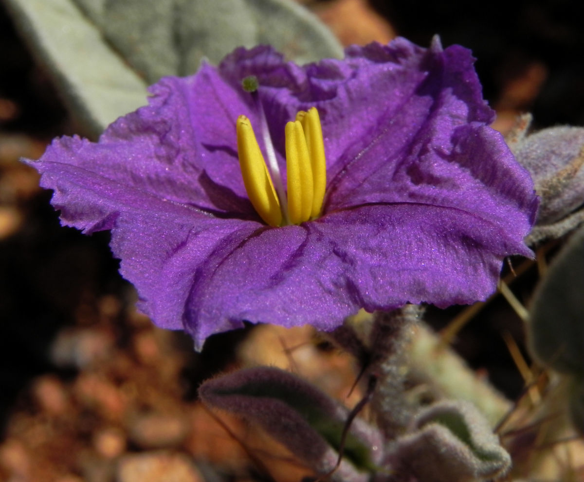 buschtomate bluete lila frucht orange solanum ellipticum