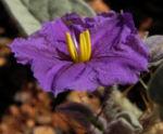 buschtomate bluete lila frucht orange solanum ellipticum 10
