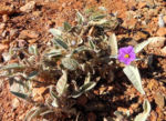 buschtomate bluete lila frucht orange solanum ellipticum 15
