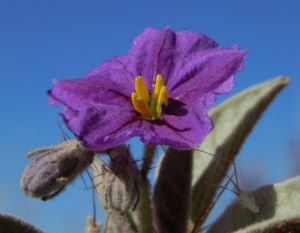 Bild: Buschtomate bluete lila frucht orange solanum ellipticum