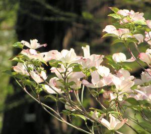 cornus florida 05