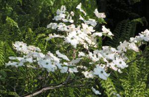 cornus florida 07