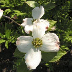 cornus florida 09