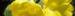 Zurück zum kompletten Bilderset cropped-Primula-Schluesselblume-Bluete-gelb_Primula-auricula02.jpg
