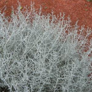 drahtpflanze blatt silber leucophyta brownii 01