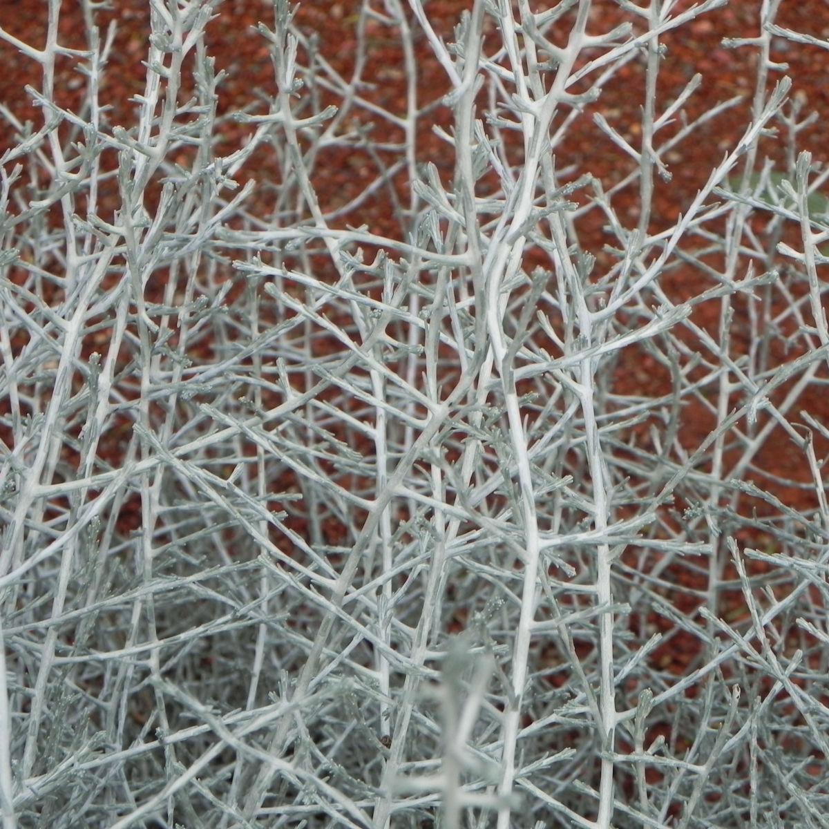 drahtpflanze blatt silber leucophyta brownii