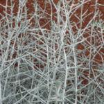 drahtpflanze blatt silber leucophyta brownii 05