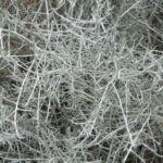 drahtpflanze blatt silber leucophyta brownii 06