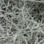 drahtpflanze blatt silber leucophyta brownii 07