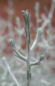 drahtpflanze blatt silber leucophyta brownii 09