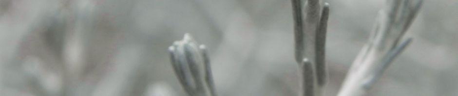 Anklicken um das ganze Bild zu sehen Drahtpflanze Blatt silber Leucophyta brownii