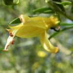 gefleckter emustrauch bluete gelb eremophila maculata 02