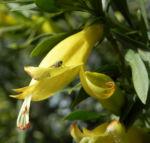 gefleckter emustrauch bluete gelb eremophila maculata 06