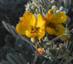 gewuerzrinden bluete gelb senna artemisioides 01